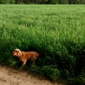 Tygrysek buszujacy w zbozu #spacer #pies #widok #zboze #buszujacy #zabawa #nature #wild #view #nature #relax #time #chill #dog #funny #smieszne